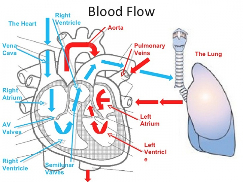 Circulatory System Blood Flow Pathway Through The Heart Manual Guide